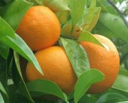 Citrus aurantium Bigaradier / Orange, grafted mini-stem 5L