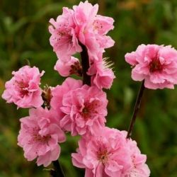 5ft Pink Ornamental Peach Tree | 10L Pot | Prunus taoflora Pink