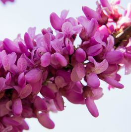 North American Redbud Tree 15L Pot - Cercis canadensis 'Forest Pansy'