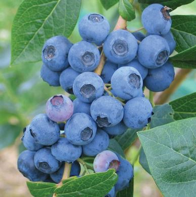 1ft 'Earliblue' Blueberry Bush | 2L Pot