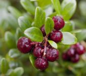 Cranberry Bush - Vaccinium macrocarpon - 2L Pot