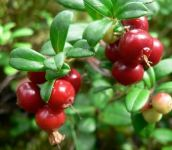 Lingonberry Red Pearl 9cm Pot