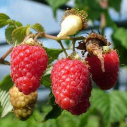 1ft 'Malling Minerva' Raspberry Bush | 3L Pot