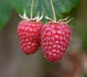 Raspberry Tulameen 3L