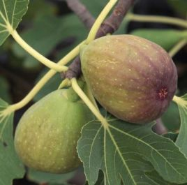 1-2ft ''Brunswick' Fig Tree | 3L Pot