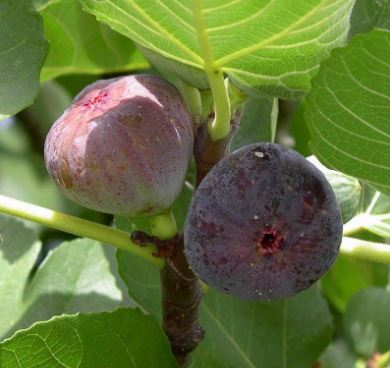 1-2ft ''Madeleine des Deux Saisons' Fig Tree | 3L Pot