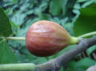 1-2ft ''Osborne's Prolific' Fig Tree | 9cm Pot