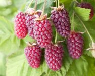 Loganberry LY654 thornless 3L