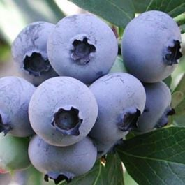 1ft 'Ozarkblue' Blueberry Bush | 2L Pot