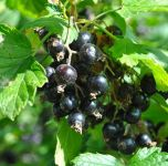 Blackcurrant Baldwin Bare Root