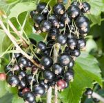 Blackcurrant Ben Tirran Bare Root