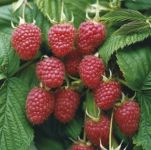 5 x Raspberry Malling Admiral Bare Root