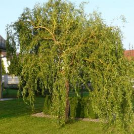 4ft Corkscrew Willow Tree | Bare Root | Salix matsudana 'Tortuosa'
