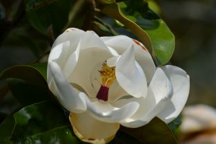 Magnolia Grandiflora Little Gem 15L