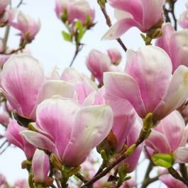 5ft Soulangeana Magnolia Tree | Bushy Stemmed | 10L Pot