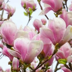 7ft Soulangeana Magnolia Tree| Bushy Stemmed | 30L Pot