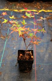 1ft Beni-maiko Acer Tree | 1L Pot | Acer Palmatum