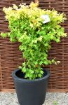 Acer Palmatum 'Orange Dream' 15l Pot
