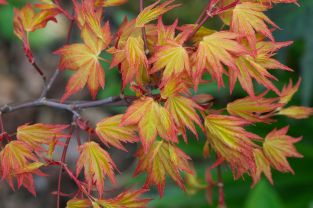 Acer Palmatum 'Orange Dream' 18l Pot