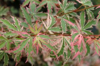6ft Butterfly Acer Tree | 35L Pot | Acer Palmatum