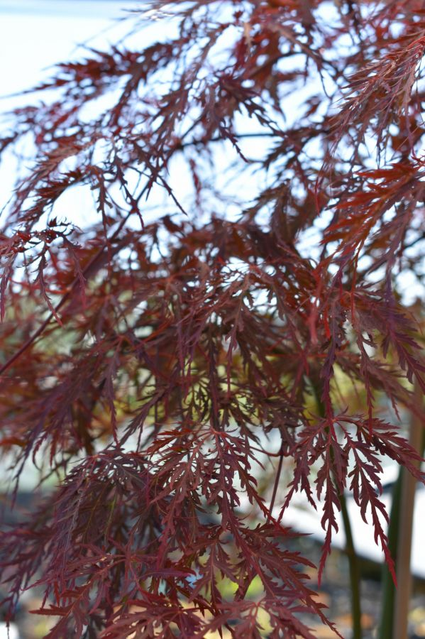 3ft Garnet Acer Tree | 5L Pot | Acer Palmatum