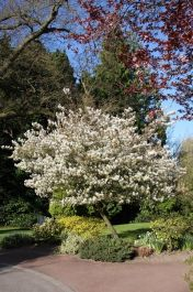 5ft Ballerina Amelanchier Tree |12L Pot | Amelanchier x grandiflora | By Frank P Matthews™