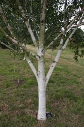 5ft Silver Shadow' Himalayan Birch Tree | 12L Pot | Betula utilis var. jacquemontii 'Silver Shadow' | By Frank P Matthews™