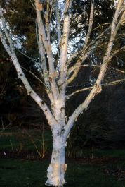 5ft Moonbeam Himalayan Birch Tree | 12L Pot |Betula utilis var. jacquemontii 'Moonbeam' | By Frank P Matthews™