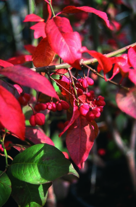 5ft Spindle Red Cascade | 12L Pot | Euonymus europaeus 'Red Cascade' | By Frank P Matthews™