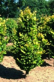 5ft Golden Upright Beech Tree | 12L Pot | Fagus Sylvatica 'Dawyck Gold' | By Frank P Matthews™