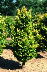 Golden Upright Beech Tree 12L Pot - Fagus Sylvatica 'Dawyck Gold' By Frank P Matthews™