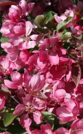 Indian Magic Crabapple Tree | 12L Pot | Malus 'Indian Magic' | By Frank P Matthews™