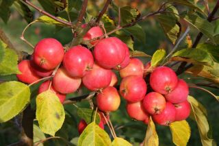 5ft 'Jelly King' Crabapple Tree | 9L Pot | Malus 'Jelly King'
