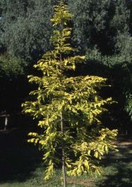 Dawn Redwood Tree 12L Pot - Metasequoia glyptostroboides 'Gold Rush' By Frank P Matthews™