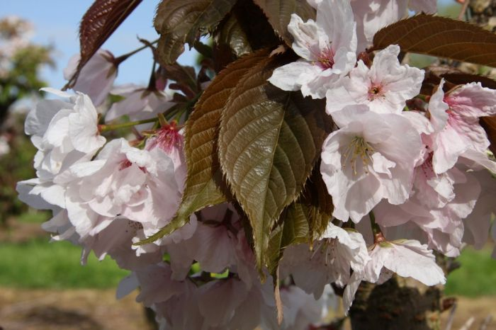 5ft Chocolate Ice Cherry Blossom Tree | 12L Pot | Prunus Matsumae fuki | By Frank P Matthews™