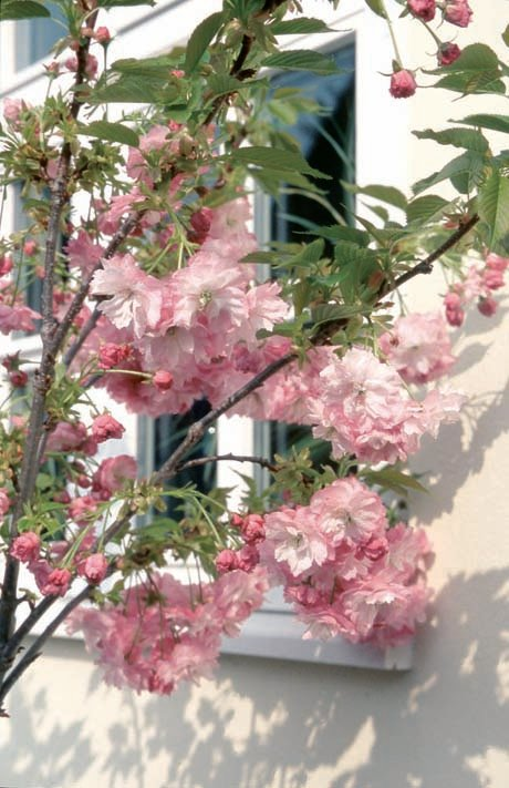 4ft Little Pink Perfection Dwarf Cherry Blossom Tree | 11.5L Pot | By Frank P Matthews™