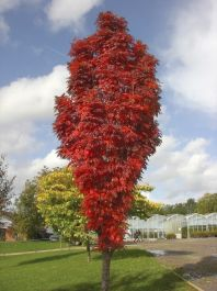 5ft Autumn Spire Rowan Tree | 12L Pot | By Frank P Matthews™