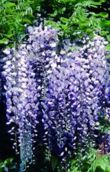 Wisteria Burford 7L Pot | By Frank P Matthews™