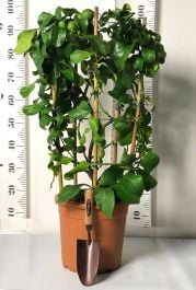 Trained Lemon Tree Circle in 12L Pot