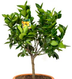 Large Lemon Tree 12L Pot (80-120cm) - Citrus Limonum