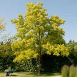 5ft Golden false acacia | 9L Pot | Robinia pseudoacacia Frisia