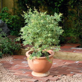 45cm Acer palm 'Butterfly' | 3L Pot