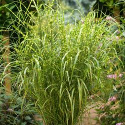 Miscanthus 'Gold Breeze' | 17cm Pot