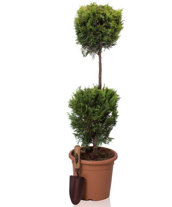 4ft Cypress Topiary Double Ball 'Goldrider' | 9L Pot