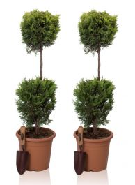 4ft Cypress Topiary Double Ball Pair 'Goldrider' | 9L Pot