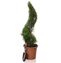 4ft Cypress Topiary Swirl 'Goldrider' | 9L Pot