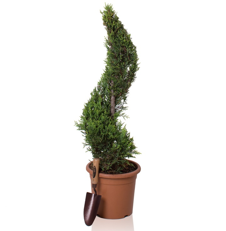 4ft Cypress Topiary Swirl | 9L Pot | Cupressocyparis leylandii 'Gold Rider'