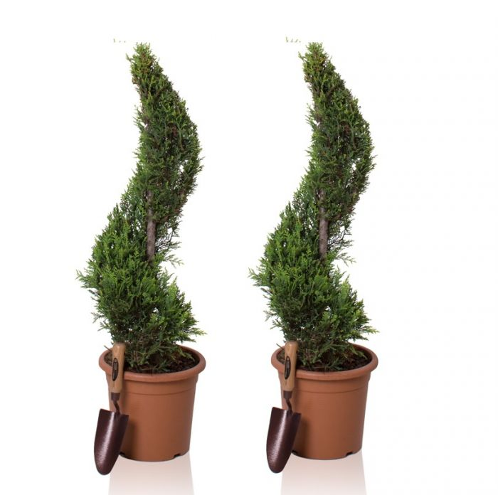 4ft Cypress Topiary Swirl Pair | 9L Pot | Cupressocyparis leylandii 'Gold Rider'