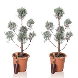 4ft Cypress Topiary Pom Poms Pair| 9L Pot | Cupressus arizonica 'Fastigiata'