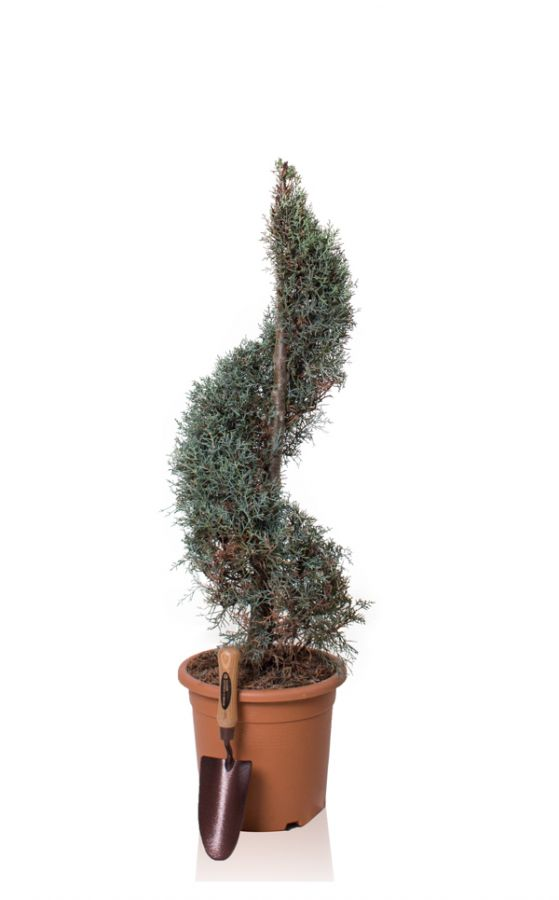 4ft Cypress Topiary Swirl| 9L Pot | Cupressus arizonica 'Fastigiata'